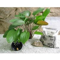 Moederplanten Set Echinodorus Red Flame - - 1 Set