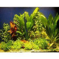 Aquariaplanten assortiment voor 100 - 120 cm aquaria - -