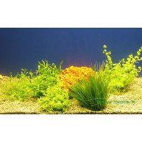 Aquariaplanten voorgrond assortiment - - 5 topplanten