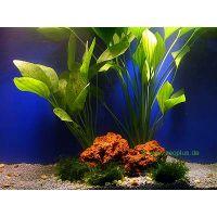 Aquariumplanten Amazonas-moederplanten set - - 2 topplan