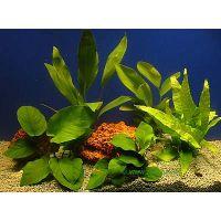 Aquariaplanten baars assortiment - - 5 topplanten