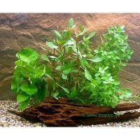 Aquariaplanten Beginners Set - - 4 plantensoorten