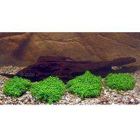 Aquariumplanten Garnalen Japan Style - - 4 planten