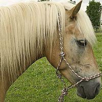 Knopenhalster voor paarden - - beige/marine/bourgond