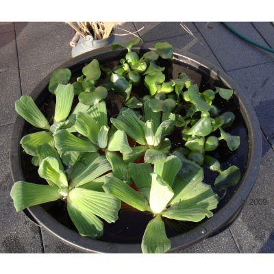 Lot de plantes aquatiques ´´´´Libellule´´´´ pour étang- 35 plantes