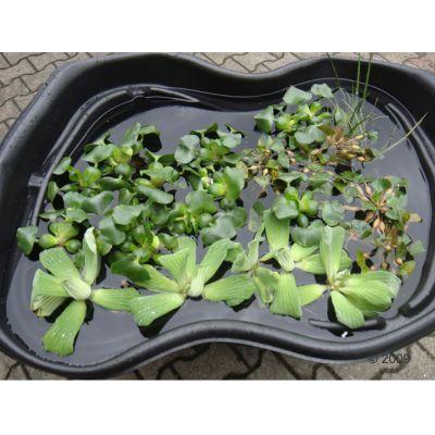 Lot de plantes aquatiques ´´´´Lotus´´´´ pour étang- 62 plantes
