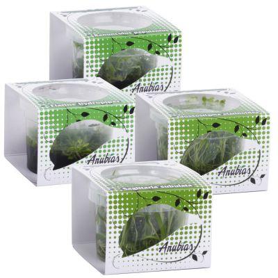 Assortiment de plantes Anubias Linea Cup ´´´´pro´´´´- 4 plantes aquatiques in vitro