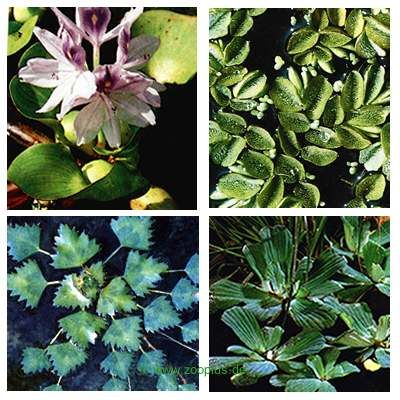 Lot de plantes flottantes pour étang par Wakus- 8 plantes