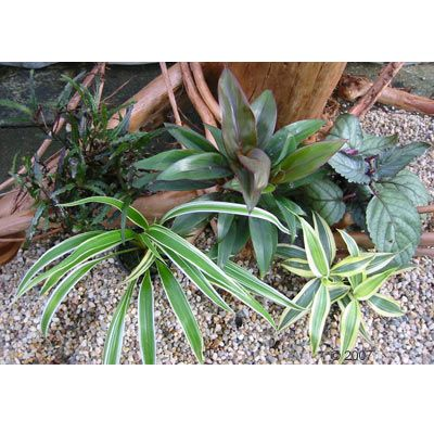 Variegated Tropical Terrarium Set - 5 plants