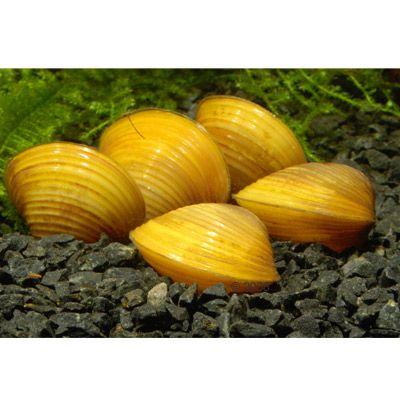 Goldene koerbchenmuschel corbicula javanicus 5 muscheln for Gartenteich muscheln