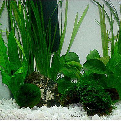 aquarienpflanzen zooplants krebs aquarium 8 pflanzen. Black Bedroom Furniture Sets. Home Design Ideas