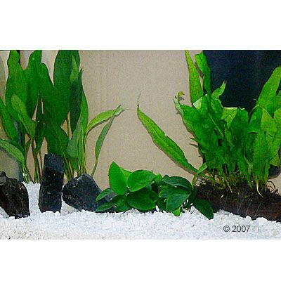aquarienpflanzen zooplants cichliden aquarium 6 pflanzen. Black Bedroom Furniture Sets. Home Design Ideas