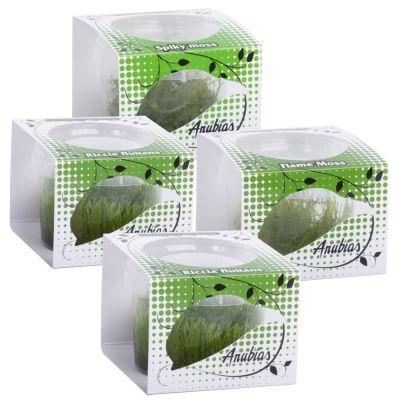 Assortiment de plantes Anubias Linea Cup ´´´´Moos´´´´- 4 plantes aquatiques in vitro