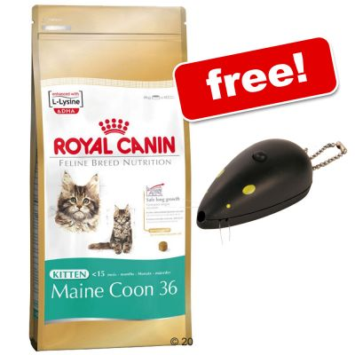 is royal canin maine coon 31 the best dry cat food for. Black Bedroom Furniture Sets. Home Design Ideas