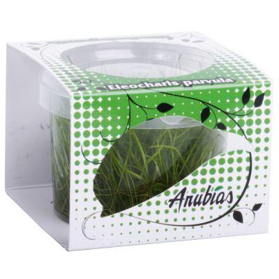 Assortiment de plantes Anubias Linea Cup ´´´´Eleocharis´´´´- 4 plantes aquatiques in vitro