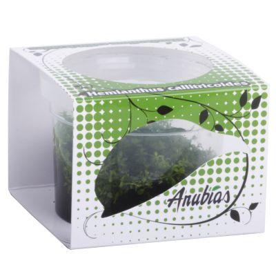 Assortiment de plantes Anubias Linea Cup ´´´´Cuba´´´´- 4 plantes aquatiques in vitro