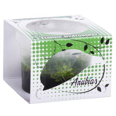 Assortiment de plantes Anubias Linea Cup ´´´´Elatine´´´´- 4 plantes aquatiques in vitro