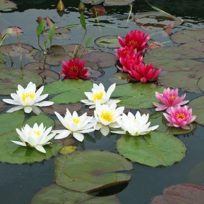 Lot de nénuphars pour étang par Wakus- 3 plantes