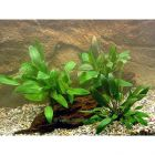 Lot de plantes Cryptocorynes d'avant-plan pour aquarium