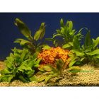 Lot de plantes Cryptocorynes pour aquarium