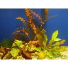 Lot de plantes solitaires pour aquarium